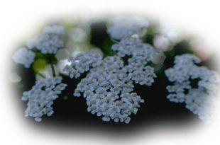 Civan perçemi (kandil çiçeği, yara otu)